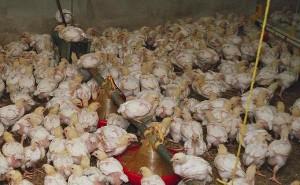Masthühner in Massentierhaltung