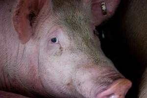 Schwein auf dem Weg in den Schlachthof