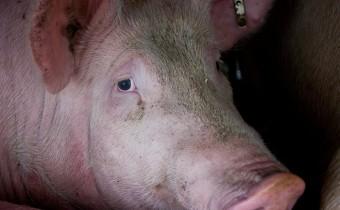 Kaum Tierschutz beim staatlichen Tierwohl-Label