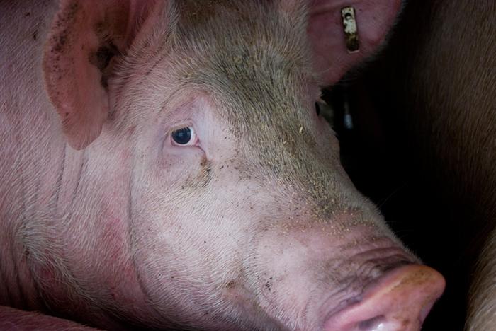 Schwein auf dem Weg ins Schlachthaus