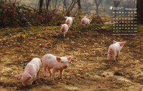 Sechs junge Schweine in einer Sandkuhle mit Herbstlaub