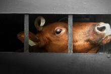 Tiertransporte in Drittstaaten stoppen!