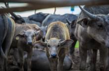 Jedes zweite Säugetier ist ein »Nutztier«
