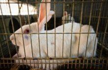 Hoffnung auf ein Ende der Kaninchen-Käfigmast