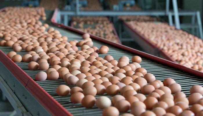 Eier auf Fließband