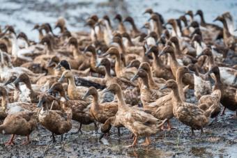 Massentierhaltung und Epidemien: Geflügelpest