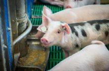 Kontrolle toter Schweine belegt Verstöße