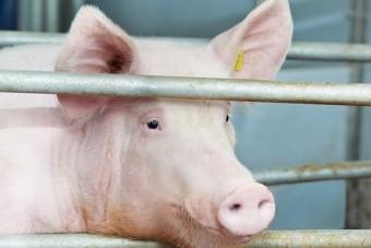 Staatliches Tierwohl-Label: Nur vage Ankündigungen