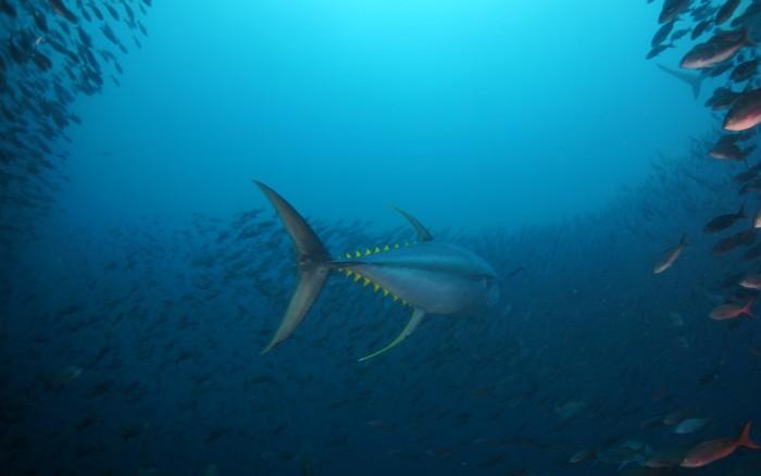 Bild: Thunfisch, gefährdet laut Living Blue Planet Report