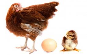 Henne, Ei und Küken.