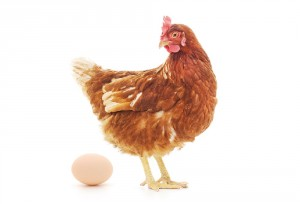 Legehenne und Ei