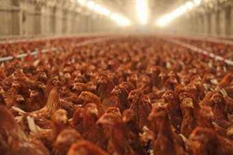 Hühnermast: Deutsche Caterer heben Standards
