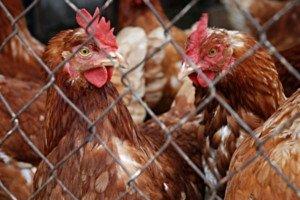 Hühner hinter Zaun