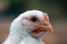 Continental Foods tritt Masthuhn-Initiative bei