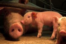 End the Cage Age: So leben Muttersauen