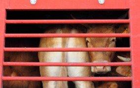 Fachleute: Tiertransporte in Drittländer desaströs