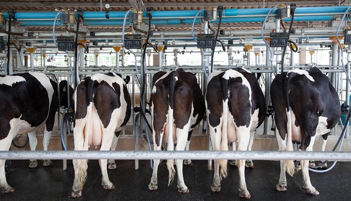 Kühe im Stall an Melkanschinen