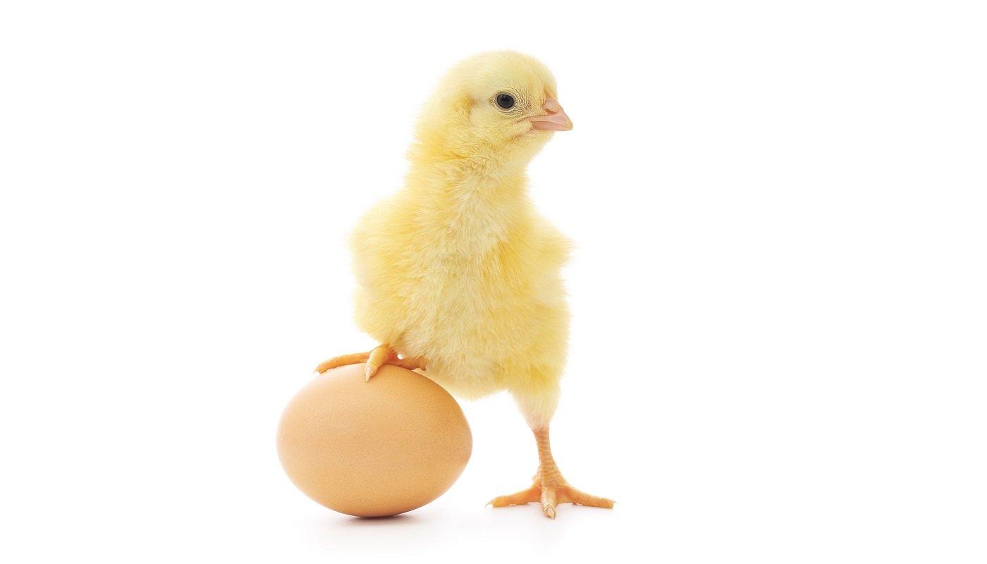 Küken mit Ei.
