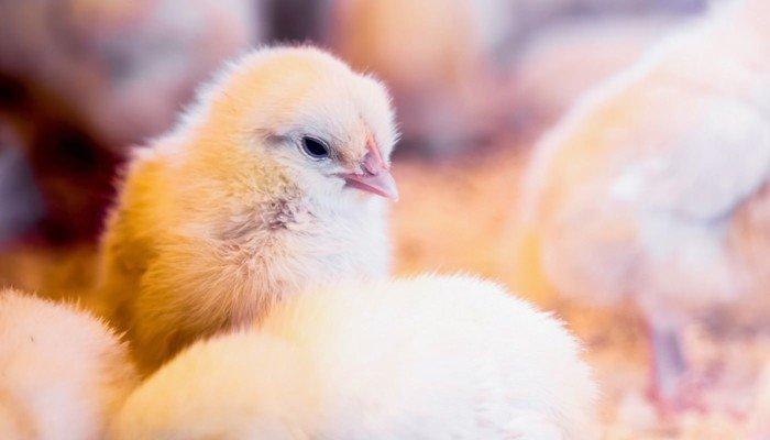 Hühnerküken: Unilever erhöht seine Tierschutzstandards