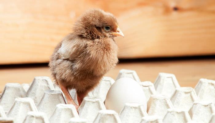 Wirtschaft - Küken auf Eierkarton