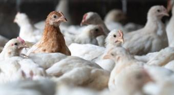 Bofrost: mehr Tierschutz für Hühner in der Mast