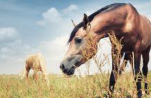Pferdeblut für Schweinefleisch