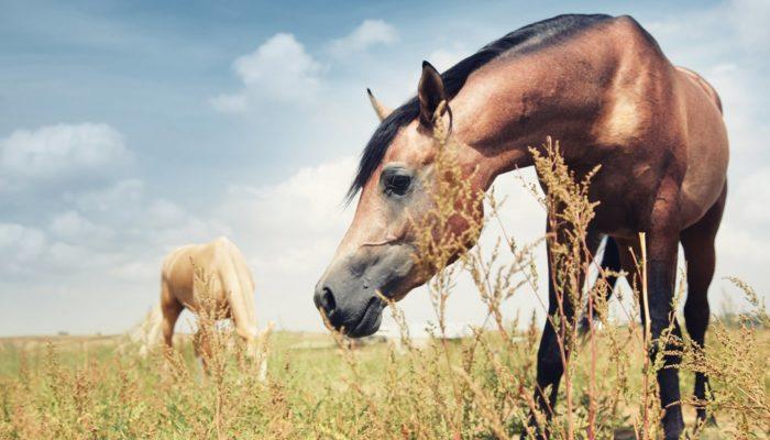 Zwei grasende Pferde