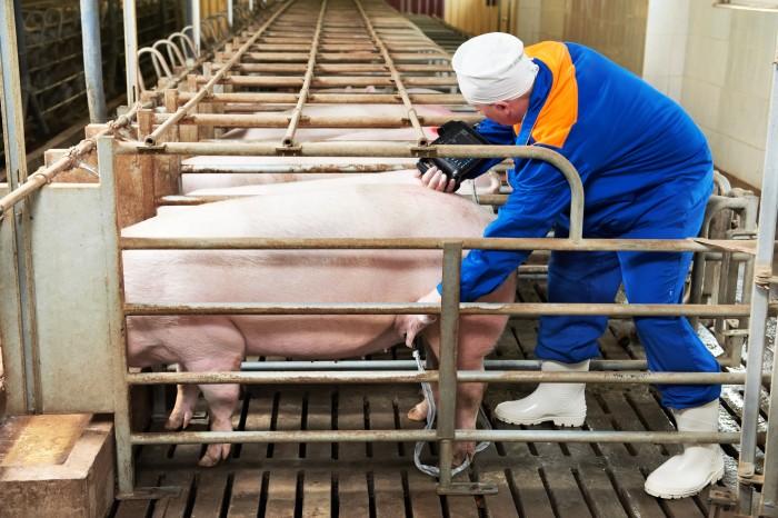 Kastenstand für Schweine
