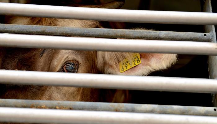 Rind auf Tiertransport