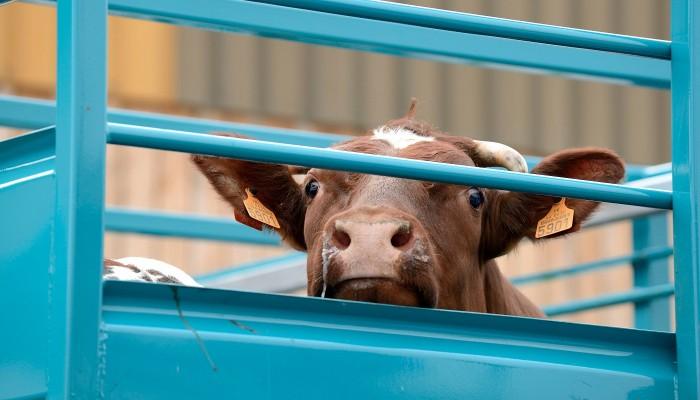 Rinder-Tiertransport