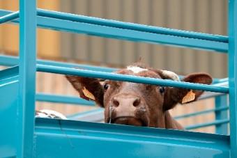 Tiertransporte: Druck zeigt Wirkung