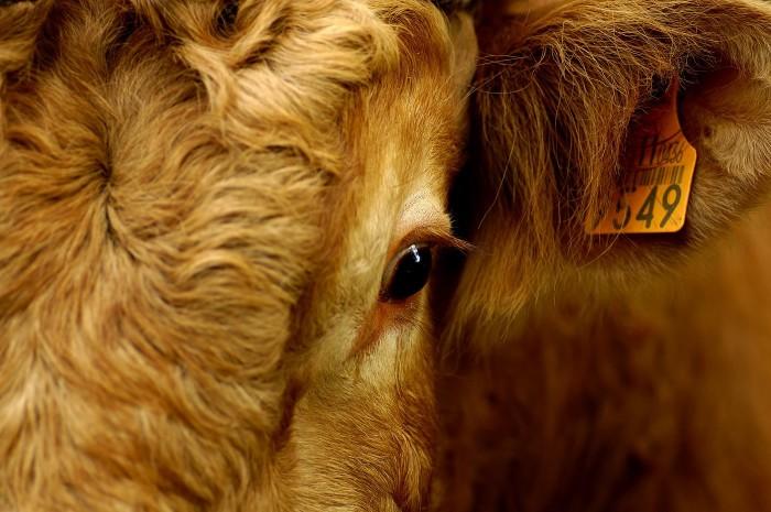 Bayrische Schlachthöfe: Untragbare Bedingungen