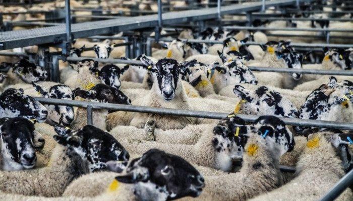 Schafe vor Lebendtiertransport