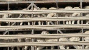Schafe im Tiertransport
