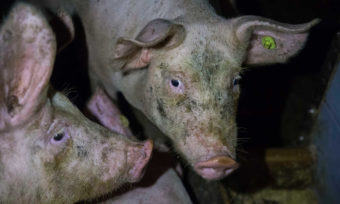 Tierqual im Stall von Agrarministerin