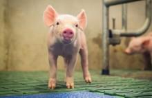 Umbau der Tierhaltung rechtlich möglich