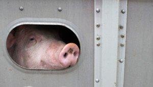 Tiertransporte Schweine