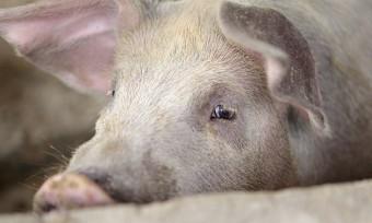 Kleine Schlachthöfe: 44 % Fehlbetäubungen