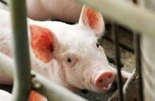 Umweltbundesamt bewertet Tierwohllabel
