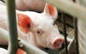 Junges Schwein hinter Gittern.