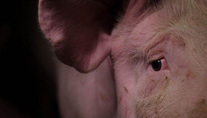 Schwein im Schlachthof
