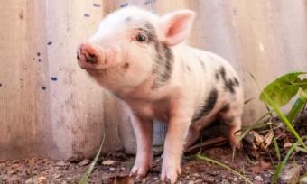 Tierkinder verderben Appetit auf Fleisch