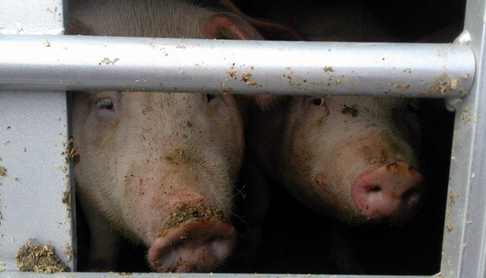 Schweine im Transporter