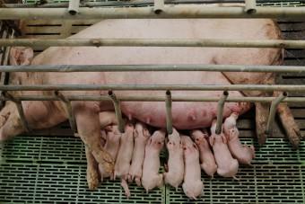 Kastenstände: Kein Herz für Schweine