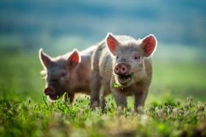 Bild Schweine