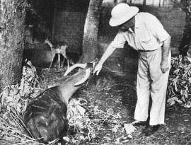 Albert Schweitzers Tiere in Lambaréné