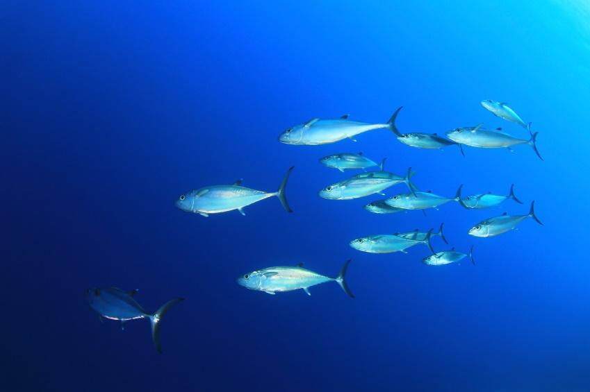 Thunfische im Meer