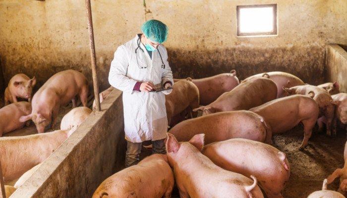 Tierarzt im Schweinestall