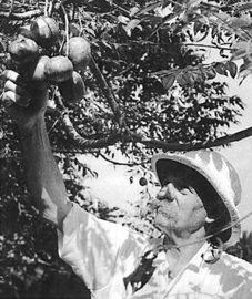 Albert Schweitzer pflückt Obst