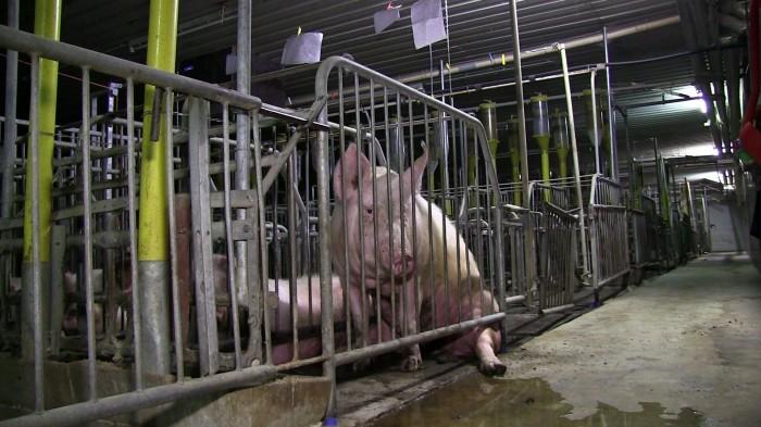 Schwein in zu schmalem Kastenstand